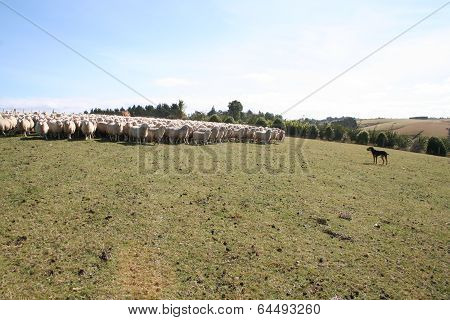Sheepdpg