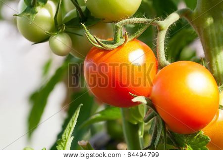 Close Up Of Fresh Red Tomatoes Still On The Plant