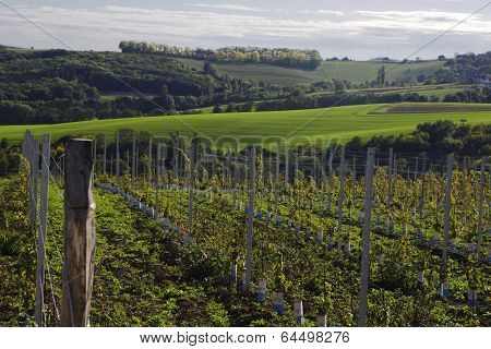 vineyard in south moravia