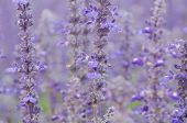 picture of blue-salvia  - Salvia pratensis blooming in garden - JPG