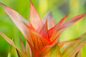 image of bromeliad  - Bromeliad Guzmania - JPG