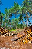 picture of afforestation  - The Logging in the Forest The Portugal - JPG