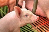 stock photo of lactating  - Little piglets suckling their mother at the pig factory - JPG