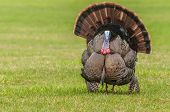stock photo of mating  - Wild turkey strutting for a mate in the spring mating season - JPG