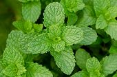 stock photo of non-toxic  - Mint green - JPG