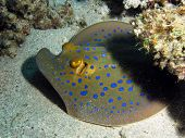 stock photo of stingray  - A blue spotted stingray  - JPG