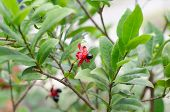 image of field mouse  - Micky mouse flower (Ochna kirkii Oliv.) in garden ** Note: Shallow depth of field - JPG