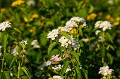 image of lantana  - beautiful Cloth of Gold flower  - JPG