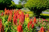 image of celosia  - beautiful Celosia flower  - JPG