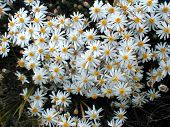picture of xeriscape  - bunches of white daisies
