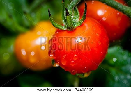 Tomatoes after the rain