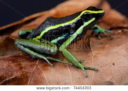 Three-striped poison arrow frog / Ameerega trivittata