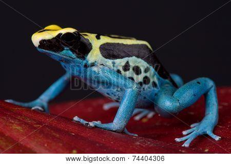 Poison arrow frog / Dendrobates tinctorius