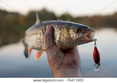 Chub in fisherman's hand, small depth of field