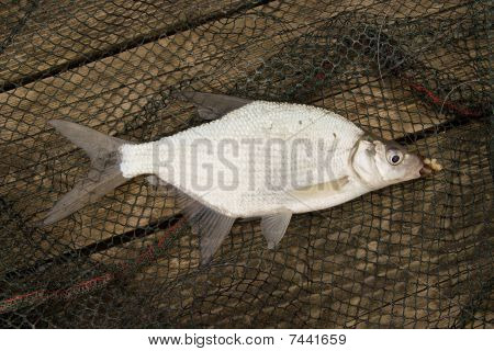 Abramis Brama - Young Carp Bream