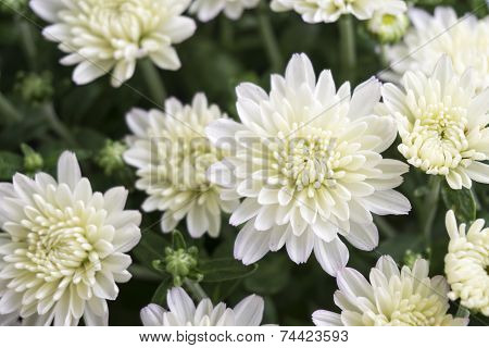 Closeup Of White Chrysanthemum Flower