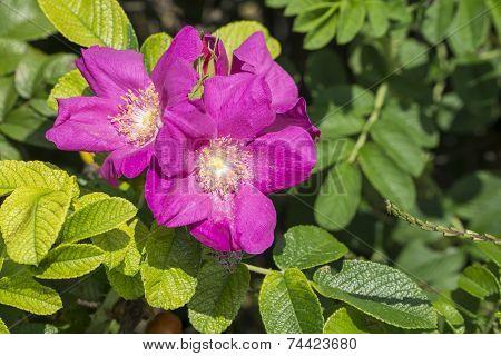 Closeup Of Sweetbrier Flowers