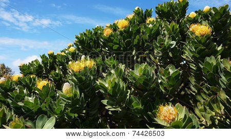 Protea, Famous Plant Of South Africa