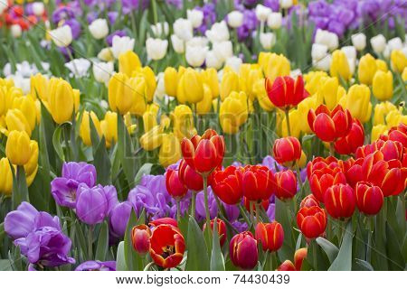 Tulip. Beautiful Bouquet Of Tulips. Colorful Tulips. Tulips In Spring