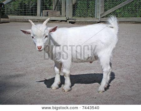 Funny Baby White Goat