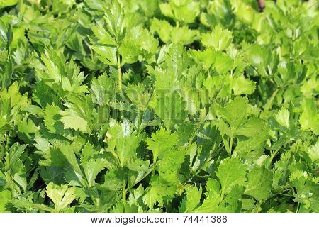 Fresh Celery Vegetable Background