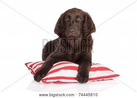 flat coated retriever puppy