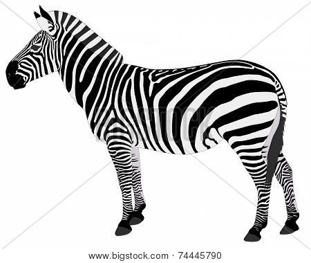 detailed illustration of zebra