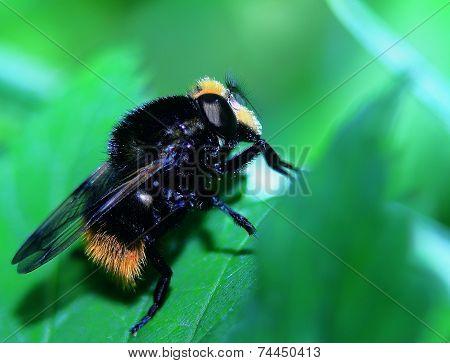 bumblebee resting