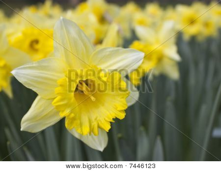 Daffodil With Soft Focus On Background