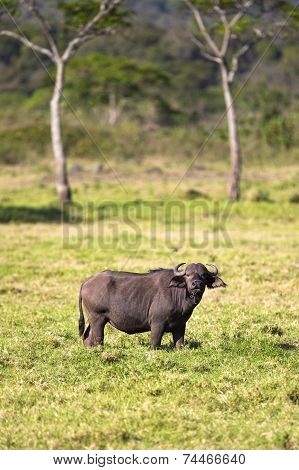 Big buffalo eats grass in idyllic Africa
