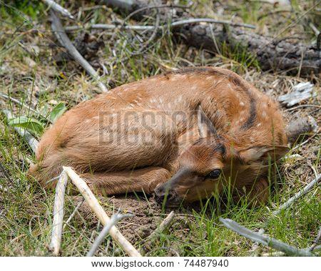 Elk calf resting