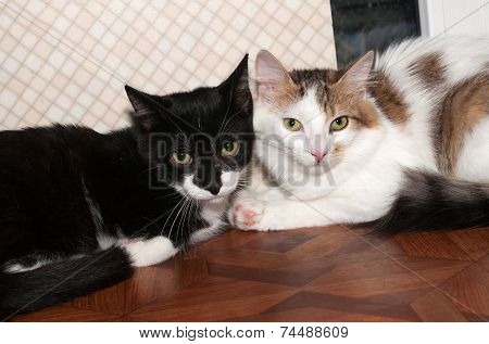 Two Scared Longhair Kitten Black And White With Spots Lie Near