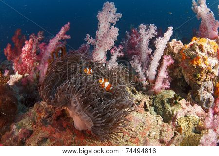 Anemone, clownfish and coral