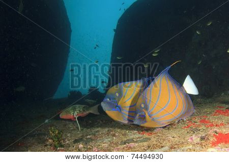Pair Blue-ringed Angelfish