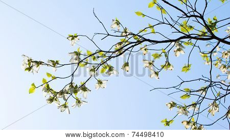 White flowering dogwood (Cornus florida) in bloom