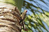 foto of woodpecker  - A happy woodpecker in a palm tree - JPG