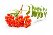 pic of rowan berry  - Rowan berries on a twig with leaves isolated on white - JPG