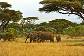 stock photo of kilimanjaro  - Elephant with Mount Kilimanjaro in the background - JPG