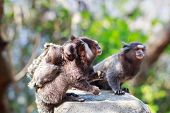 foto of marmosets  - The common marmoset  - JPG
