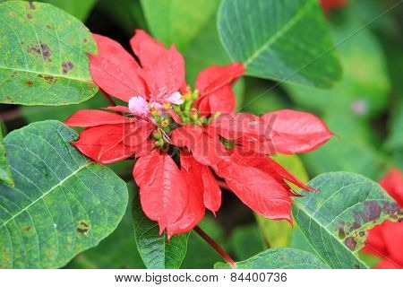 Christmas Red Poinsettia Plants In Garden