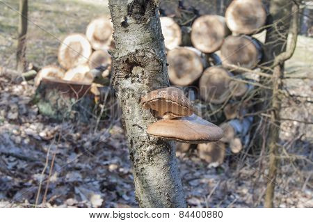 Birch Polypore - Piptoporus betulinus on Birch tree - Betula pendula. The fungi will help the tree t