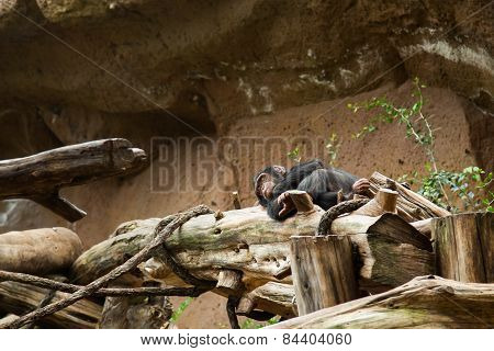 chimpanzee sleep