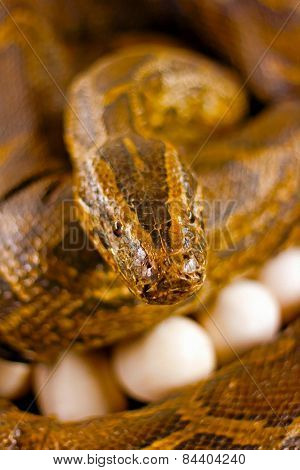 A Digitally Constructed Painting Of  Snake Guarding Her Eggs
