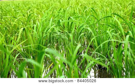 rice in cornfield