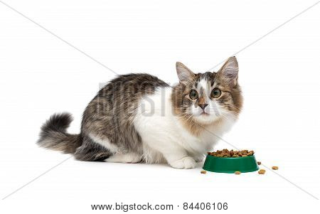 Kitten Sitting Around A Bowl Of Food Isolated On White Background