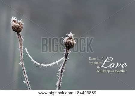 Conection Between Two Dry Flower Heads Covered With Hoarfrost, Love Background