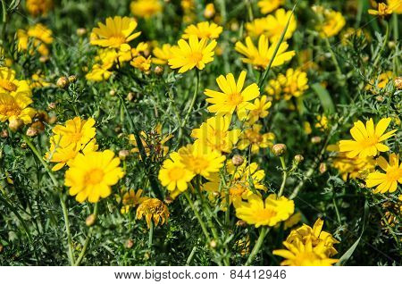 Yellow Flowers In Spring Blooming Meadow