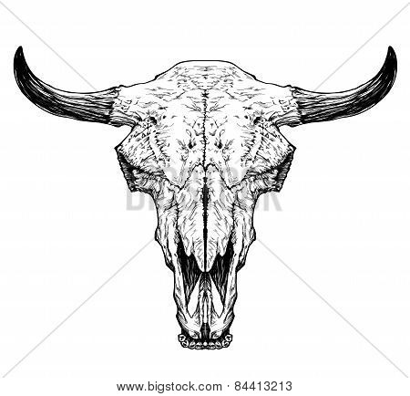 Bull / auroch skull with horns on white background.
