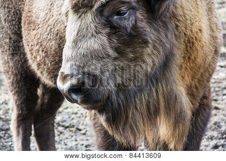 European Bison Close Up Portrait