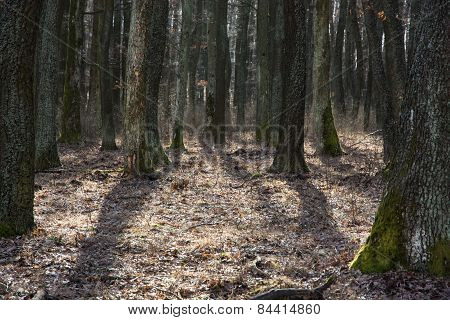 Dense Deciduous Forest In Backlight